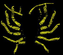 Unusual achelatan larva