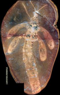 300 Millionen Jahre alte Insektennymphe