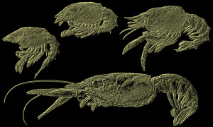 Larvae of the European lobster