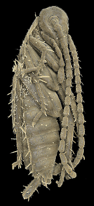 Fossil cockroach nymph