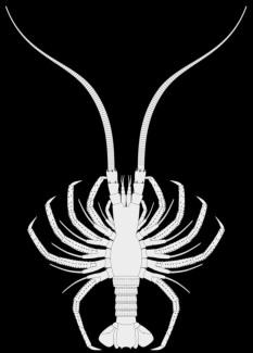 Fossil immature achelatan lobster
